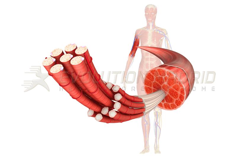 La importancia del músculo en la salud y en la enfermedad